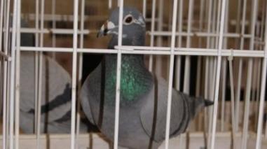 Seis pombos baixo-alentejanos nas Olimpíadas de columbofilia