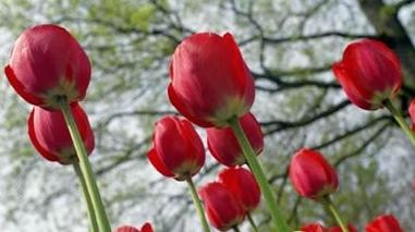 Empresários holandeses plantam tulipas na zona de Montes Velhos