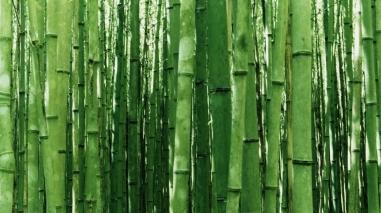 Maior produtor de bambu da Europa está em São Teotónio
