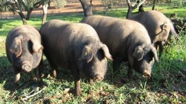 Concelho de Ourique em festa com a Feira do Porco Alentejano