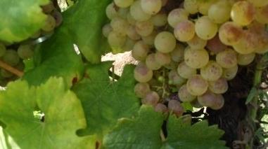 Produção de vinho no Alentejo deve diminuir muito este ano