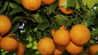 Grupo espanhol quer comprar laranjas produzidas na zona do Alqueva