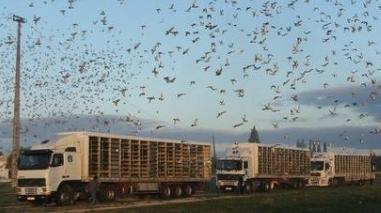 Três pombos baixo-alentejanos participam na Exposição Ibérica