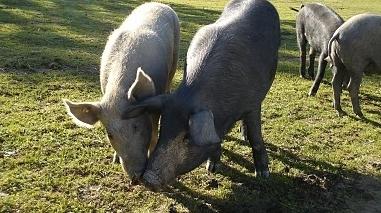 Ourique promove Feira do Porco Alentejano de 23 a 25 de Março