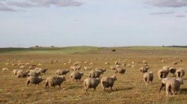 Região do Campo Branco regista menos 2.000 ovelhas