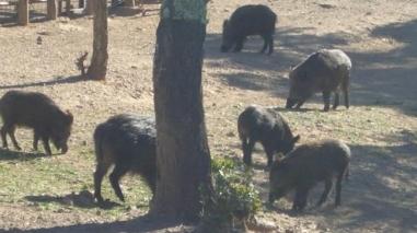 GNR apreende 45 javalis em cativeiro no concelho de Almodôvar