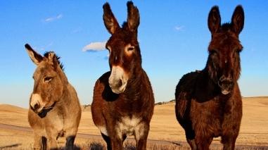 Ovibeja 2012 dá destaque aos burros na sua programação