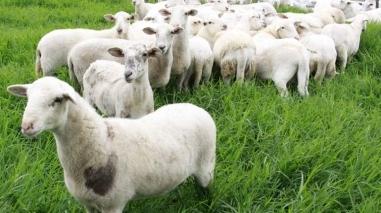 Produtores de borregos do Baixo Alentejo com menos lucro na Páscoa 2012