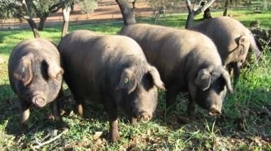 Associação de Criadores de Porco Alentejano constrói nova sede em Ourique