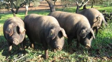 Número de criadores de porco alentejano diminui para quase metade
