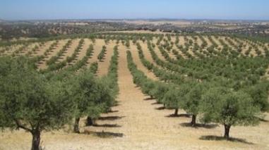 Turismo do Alentejo quer desenvolver olivoturismo na região