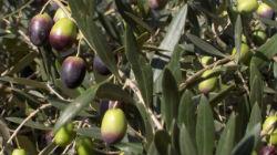 Produção de azeitona com