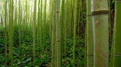 Produtor de bambu quer investir em Beja