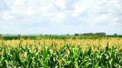 Área de milho aumenta no Alentejo