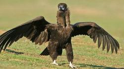 Cinco grifos e dois abutres