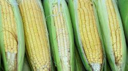 Área cultivada de milho