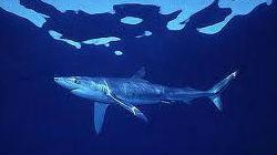 Tubarão-tintureiro avistado