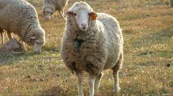 Cadáveres de ovinos