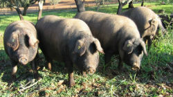 ACPA: Sector do porco