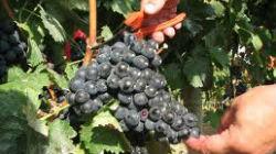 Produção de vinho vai