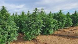 Maior plantação de