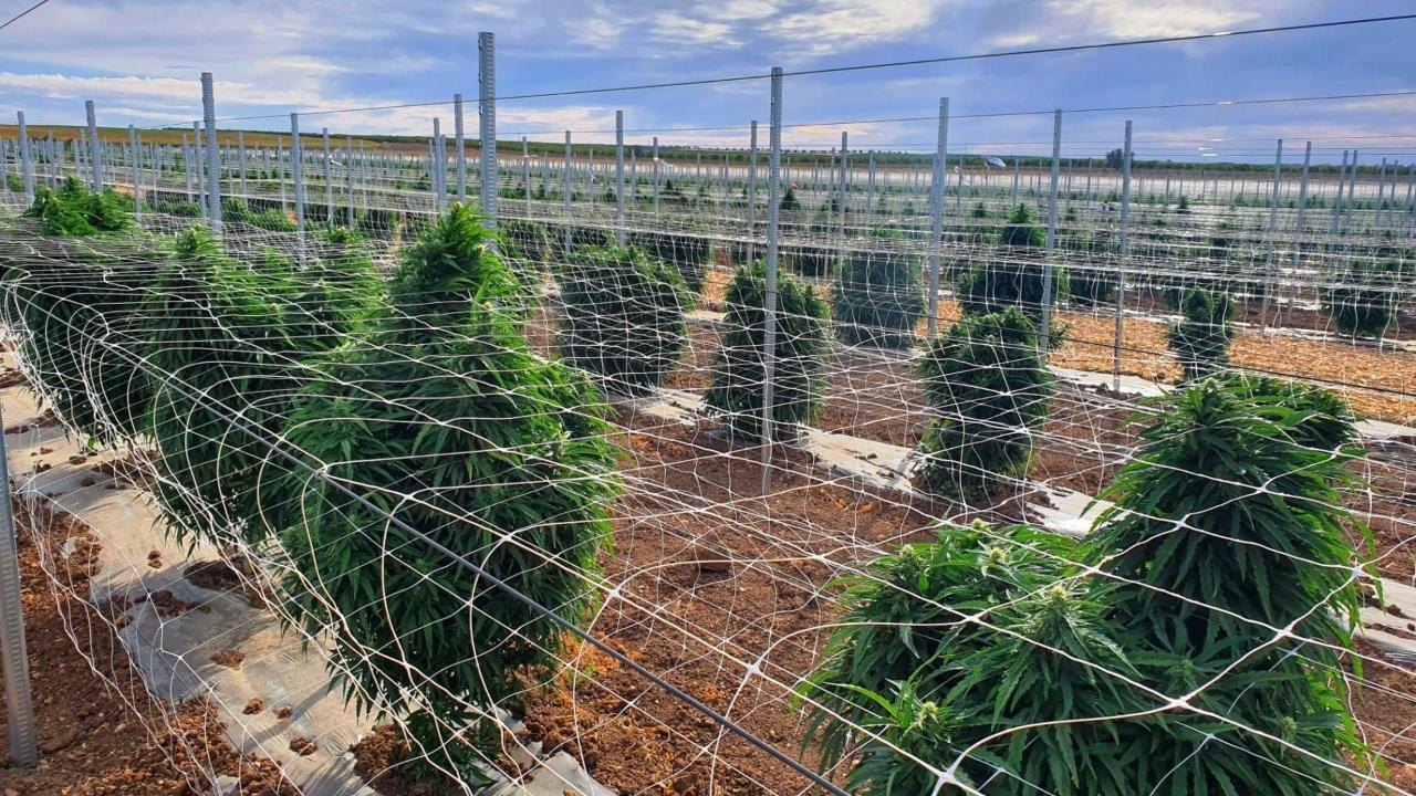 """Primeira colheita de cannabis medicinal em Aljustrel """"rendeu"""" 3.000 quilos"""